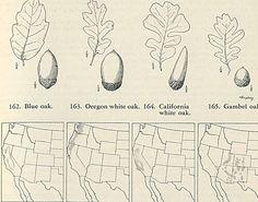 Oak Tree Identification