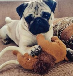 Pug vs. Mammoth... #pugsarestrange #puglife #pug #pugsofinstagram