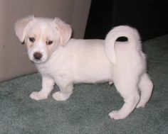 Small Hybrid Dogs | Foxingese puppy at 7 weeks old.