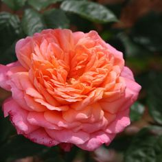 Portlandia ~ Climbing / Shrub Rose