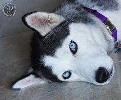 siberian husky blue eyes