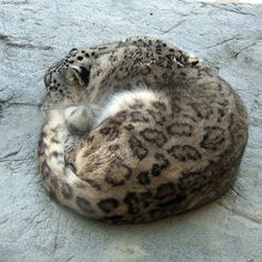 snow leopard curled up - probably reading a novel or something. Snow Leopard Pictures, Animal Pictures, Big Cats, Cats And Kittens, Baby Otters, Domestic Cat, Leopards, Animals Beautiful, Dibujo