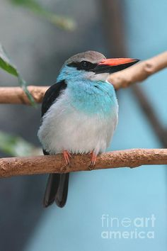 The Blue-breasted Kingfisher (Halcyon malimbica) is a tree kingfisher which is widely distributed in tropical west Africa.