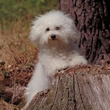 Bolognese Italy 6 to 9 pounds 10 to 12 inches White 12 to 15 years~ Bolognese Puppies, Bichon Bolognese, Pet Dogs, Dogs And Puppies, Dog Cat, Pets, Doggies, Super Cute Puppies, Adorable Dogs
