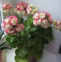 Appleblossom Rosebud, ca Said to have been queen Victorias favourite pelargonium. Bonsai Flower, Flowers, Foliage Plants, Growing Seedlings, Pelargonium, Flower Seeds, Geraniums, Rare Flowers, Geranium Plant