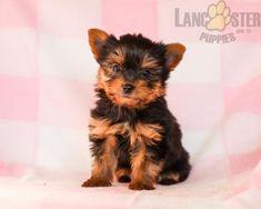 #YorkshireTerrier #Charming #PinterestPuppies #PuppiesOfPinterest #Puppy #Puppies #Pups #Pup #Funloving #Sweet #PuppyLove #Cute #Cuddly #Adorable #ForTheLoveOfADog #MansBestFriend #Animals #Dog #Pet #Pets #ChildrenFriendly #PuppyandChildren #ChildandPuppy #LancasterPuppies www.LancasterPuppies.com Yorkie Puppy For Sale, Puppies For Sale, Puppy Love, Yorkie Puppies, Small Dog Breeds, Small Dogs, Lancaster Puppies, Yorkshire Terrier Puppies, Elmo