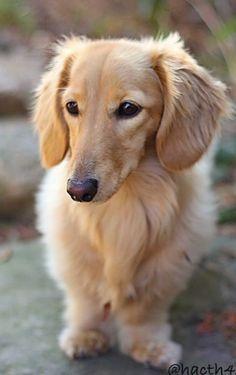 ❤️ would make a great friend for peeta! #dachshund