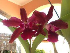 Minha orquídea!!!!! Jóia rara!!!