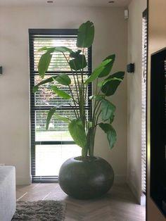 Strelitzia Plant, Home Decor Bedroom, Living Room Decor, Floor Plants, House Plants Decor, Cute Room Decor, Interior Plants, Landscaping Plants, Beautiful Homes