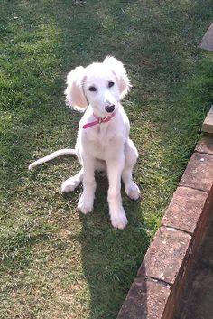 saluki puppy. And it's white ❤❤