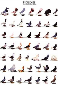 know your pigeon. Pigeon Cage, Pet Pigeon, Pigeon Bird, Dove Pigeon, Pretty Birds, Beautiful Birds, Pigeon Loft Design, Racing Pigeon Lofts, Poultry Breeds