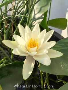 A Water Lily, Trademark, First Harvest, and a lot more - Whats Ur Home Story. *** Learn more at the picture