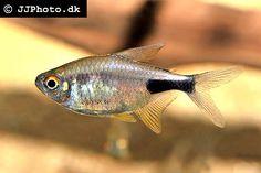 Hemigrammus pulcher - Pretty Tetra, Garnet Tetra, South America