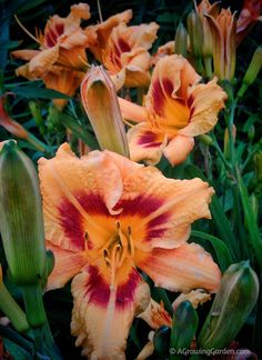 Great for full sun zone 6a container garden: Blackeyed Stella Daylily Photo
