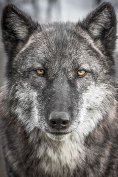Young Wolf Photo by P. Warner -- National Geographic Your Shot