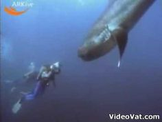 The megamouth shark, Megachasma pelagios, is an extremely rare species of deepwater shark. Since its discovery in 1976, only a few megamouth sharks have been seen, with 54 specimens known to have been caught or sighted as of 2012. Like the basking shark and whale shark, it is a filter feeder, and swims with its enormous mouth wide open, filtering water for plankton and jellyfish. (:54)