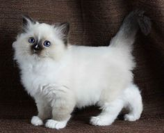 Seal Mitted Female with blaze 8.5 weeks
