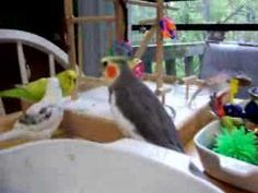 Supportive roles from those bad budgies and guest appearance by Tika. He is a two year old male cockatiel. He learned to speak before a year ol. Budgies, Parrots, Cockatiel Care, Bird Videos, Bird Gif, Camera Shy, Bad Cats, Pretty Birds, Pets