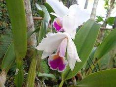Flor nacional: orquídea