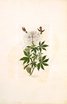 "The Birds of America, Plate #379: ""Ruff-necked Hummingbird"", John James Audubon, 1827–1838, Transfer from the North Carolina State Library"