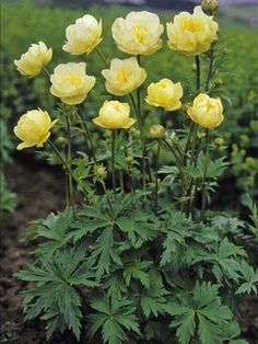 New Moon Globe Flower - partial shade, tall, wide, yellow flowers in late-spring/early-summer, likes moist soil. Yellow Perennials, Flowers Perennials, Planting Flowers, Flowers Garden, All Flowers, Yellow Flowers, Exotic Flowers, Shade Garden, Garden Plants