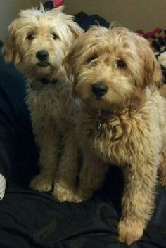 golden doodle brothers