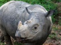 rinoceronte-extinto