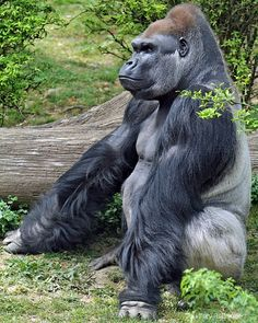 Silverback Gorilla, I just wish he was around when my car is stuck in the ditch. Only if he wanted to help of course.