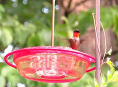 Ruby-throated Hummingbird (male): 31 July 2014, 5:00 p.m., Falls Church, VA (our backyard), 84 degrees, mostly sunny, calm