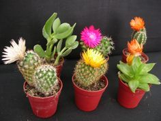 Cactus, cuidados y mantenimiento