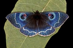 Blue Noctuid Moth: Erebus albicincta obscurata - From China Types Of Butterflies, Beautiful Butterflies, Flying Insects, Bugs And Insects, Types Of Moths, Moon Moth, Dragonfly Insect, Moth Tattoo, Moth Caterpillar