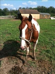 Akela is a 3 year old paint pony mare who is just over 14 hands tall ready for any discipline. Before coming to us she wasn't halter broke and barely touched by human hands, so she needs someone to go slow with her and earn her trust. She is a very...