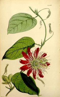 Passion flower (Passiflora × lawsoniana, as Passiflora amabilis) from Curtis's Botanical Magazine (1848).  W.H. Fitch.