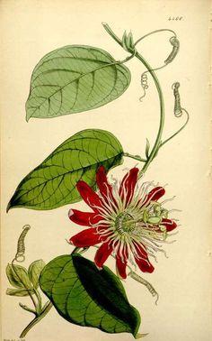 Passion flower (Passiflora × lawsoniana, as Passiflora amabilis) from Curtis's Botanical Magazine (1848).  W.H. Fitch.  Wikimedia.