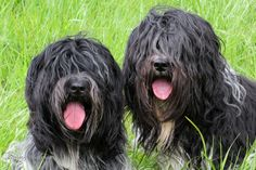 schapendoes dog photo | Schapendoes / Dutch Sheepdog / Dutch Schapendoes / Nederlandse ...