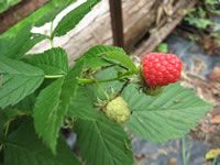 Raspberries, How to Plant, Grow and Care for Raspberry Plants