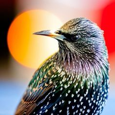 european starling (photo by izzy's photos)