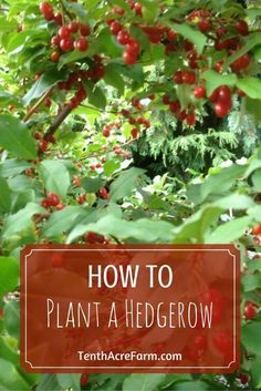A hedgerow can offer beauty, productivity, biodiversity, and much more! Discover how to plant a hedgerow to meet your needs.