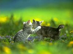 Free National Geographic Pix: cats pictures free pictures 2011