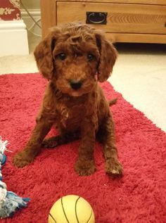 7 Best Adorable Red Cockapoos images in 2018 | Cockapoo