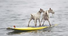 Surfing Goats? Surfing Goats!