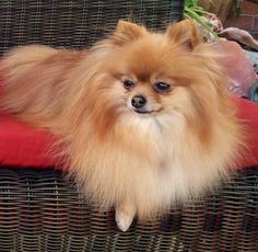 Orange Pomeranian Reminds me of Tina the first Pom I ever knew