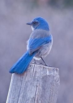 blue bird of happiness .