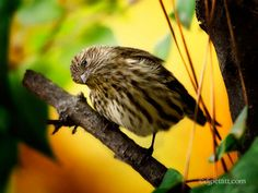 I think this is a female House Finch by  DJ Pettitt
