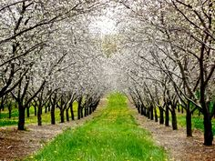 Cherry orchard in blossom
