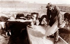 0 James Dean feeding calves in Fairmount, February 1955