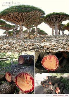 Dracaena cinnabari 'Dragon's blood tree'