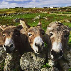 The Irish Post shared this with me; Donkeys posing in Clifden, county Galway.                                           Need a caption to suit.....  Photo com/my.worldmap/