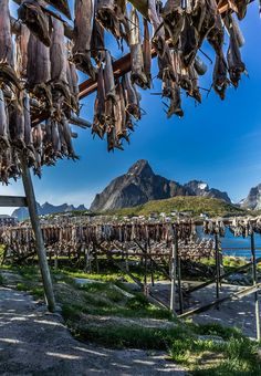 Title: Stockfish, Lofoten Islands, Norway Artist: EuropeTrotter
