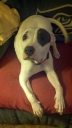 #WASHINGTON ~ meet Juliet: 1.5 yr American Bulldog/Mix   Location: #Tacoma #Seattle.    Juliet is looking for a family w children and an active lifestyle. She was found abandoned on a balcony w her 9 pups, all of which are happy and healthy. Now she is thriving on her own and is looking for her loving forever home. For more info please click this link for her bio and adoption application. Thank you.    -Valhalla Canine Rescue